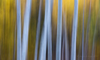 Fall Aspen Abstract II