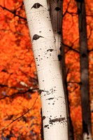 Aspen Detail Fall Color, Grand Teton National Park