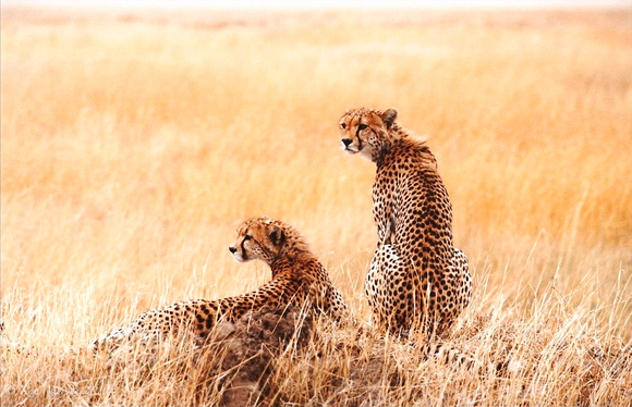 Brothers Of The Serengeti 3